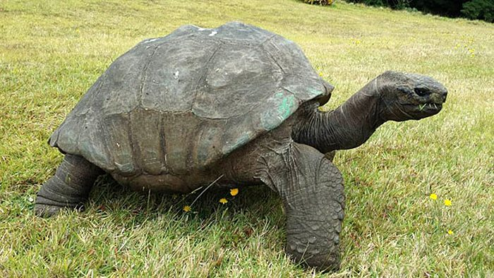 182-year-old-tortoise-jonathan-12