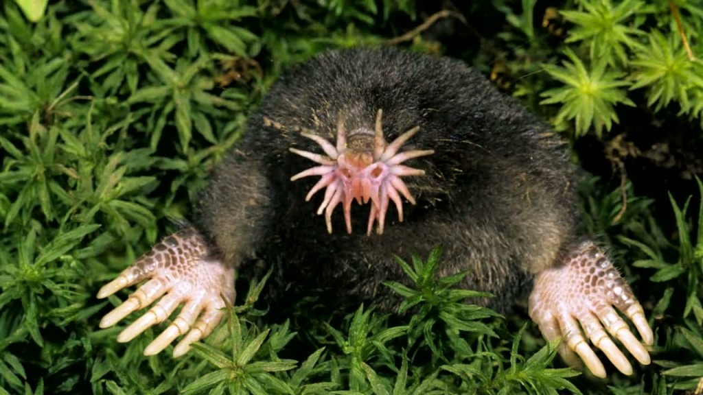 Star-Nosed-Mole1-1024x576