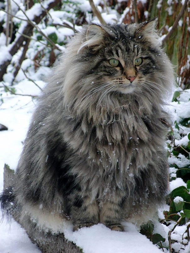 maine-coon-cats__605