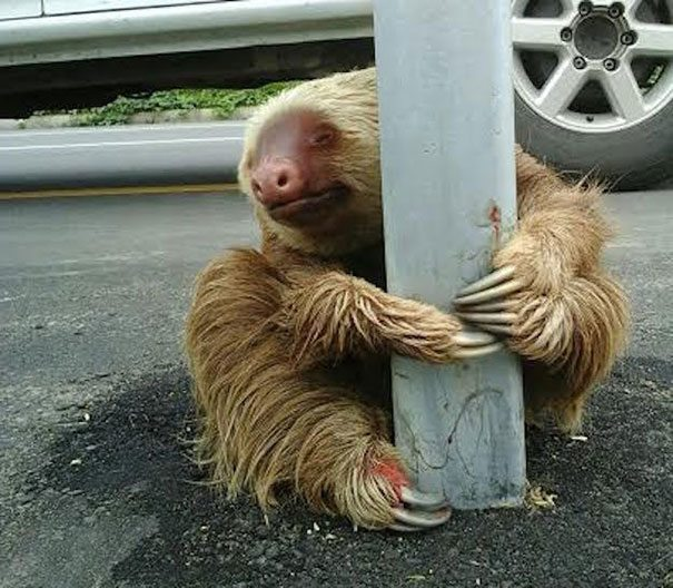 police-rescue-sloth-cross-highway-ecuador-2