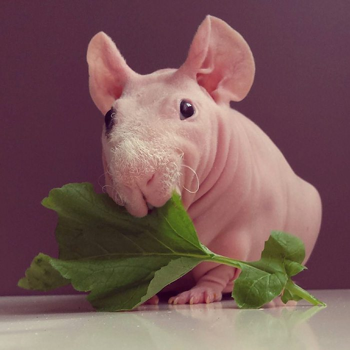 naked-guinea-pig-food-photoshoot-ludwik-69__700