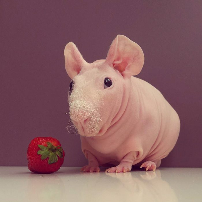 naked-guinea-pig-food-photoshoot-ludwik-79__700