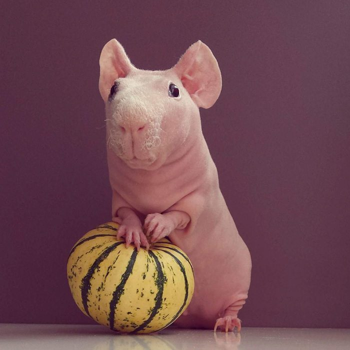 naked-guinea-pig-food-photoshoot-ludwik-85__700