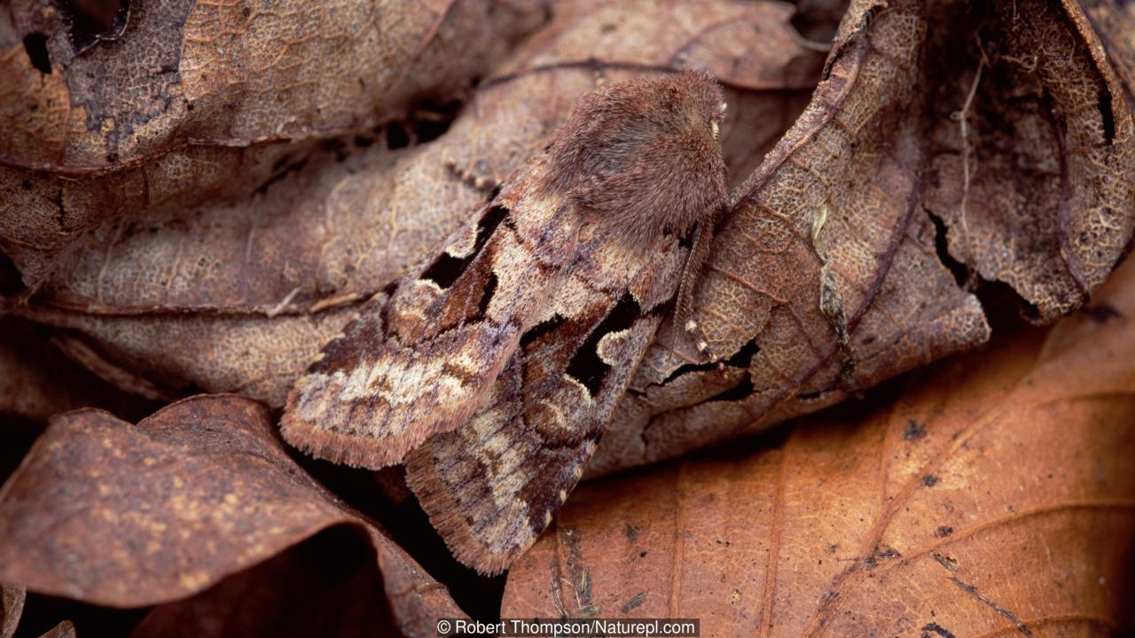 Hebrew character moth (Orthosia gothica) camouflaged amongst leaf litter, Rehaghy Mountain, County Tyrone, Northern Ireland, UK, April