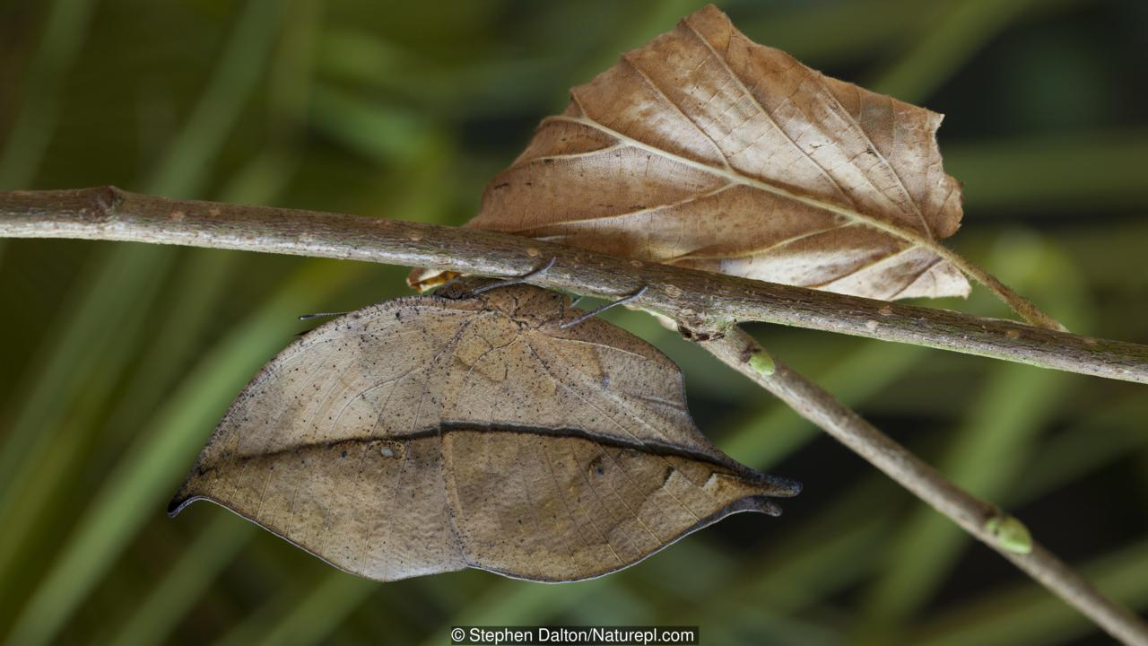 Indian Leaf Butterfly (Kalima paralekta) showing near-perfect leaf mimicry. India.