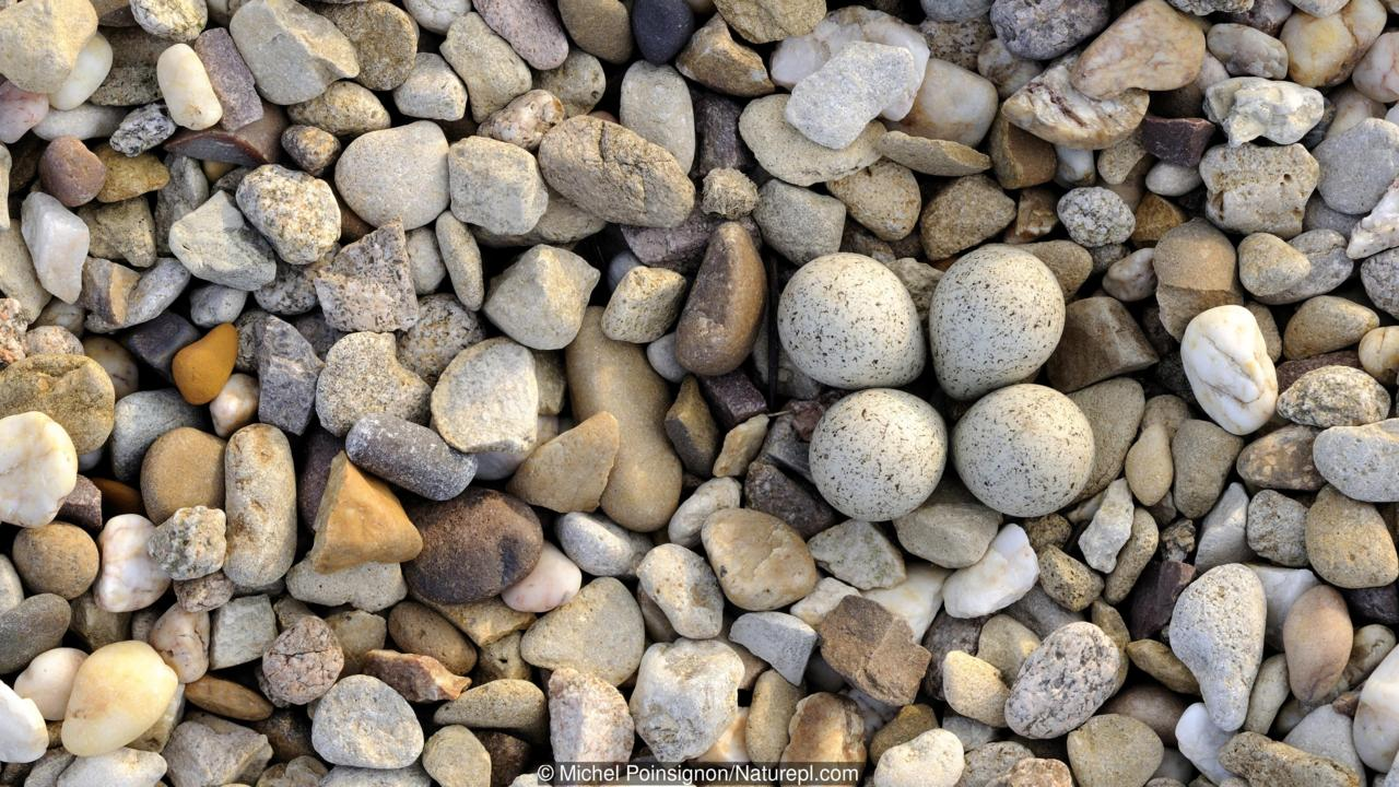 Little ringed plover {Charadrius dubius} nest with four eggs camouflaged on shingle, Lorraine, France
