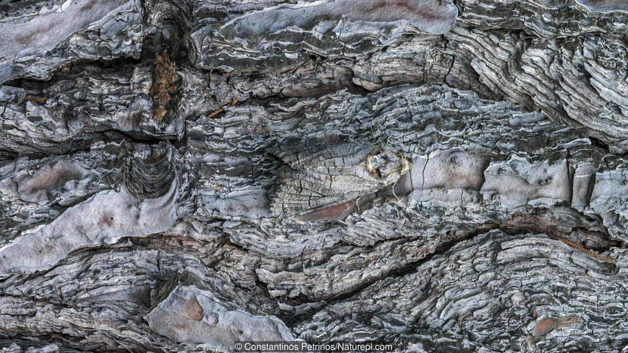 Goat moth (Cossus cossus) camouflaged on tree trunk, Killini, Peloponnese, Greece, July.