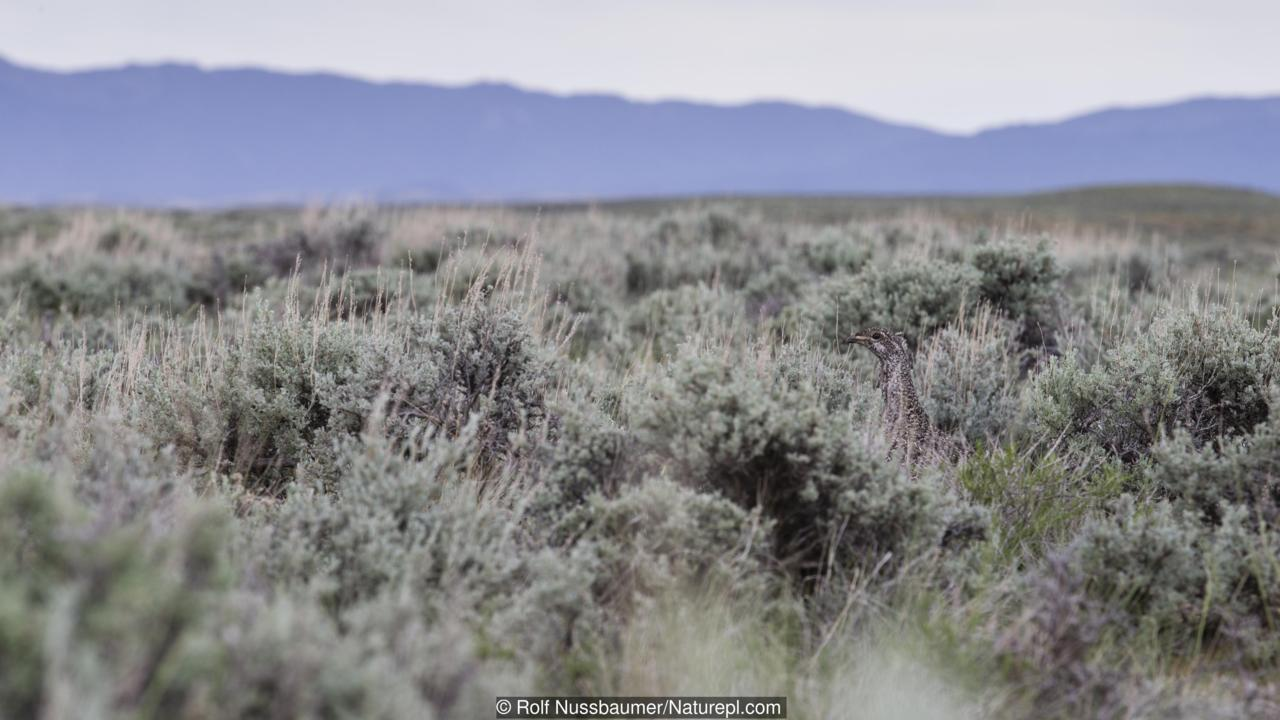 Greater sage-grouse (Centrocercus urophasianus) female hidden in sage landscape. Sublette County, Wyoming. June.