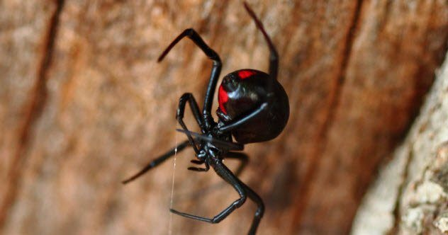9a-black-widow_29065056_small