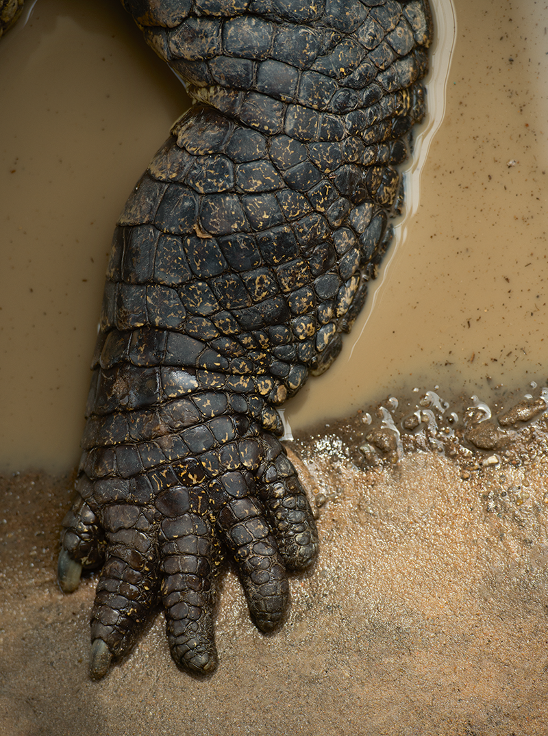 090_crocodile_foot