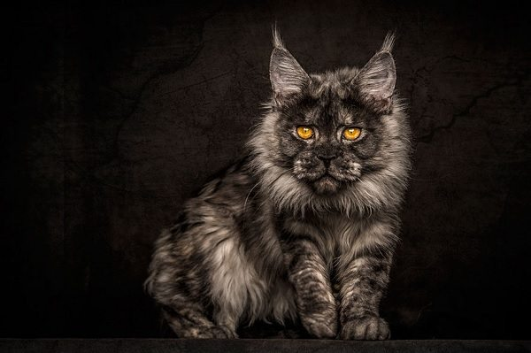 maine-coons-10