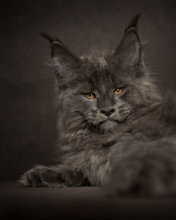 maine-coons-12