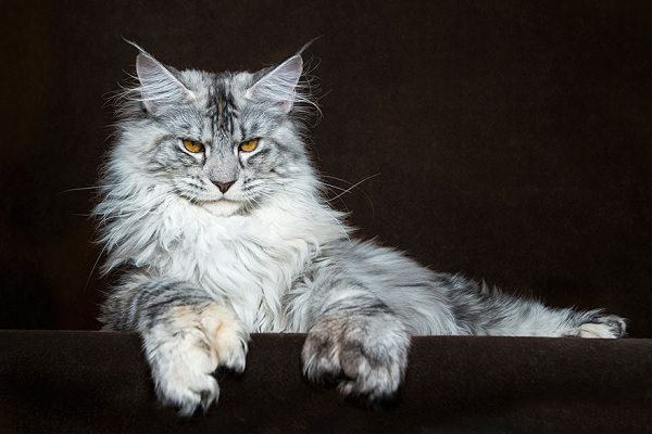 maine-coons-16