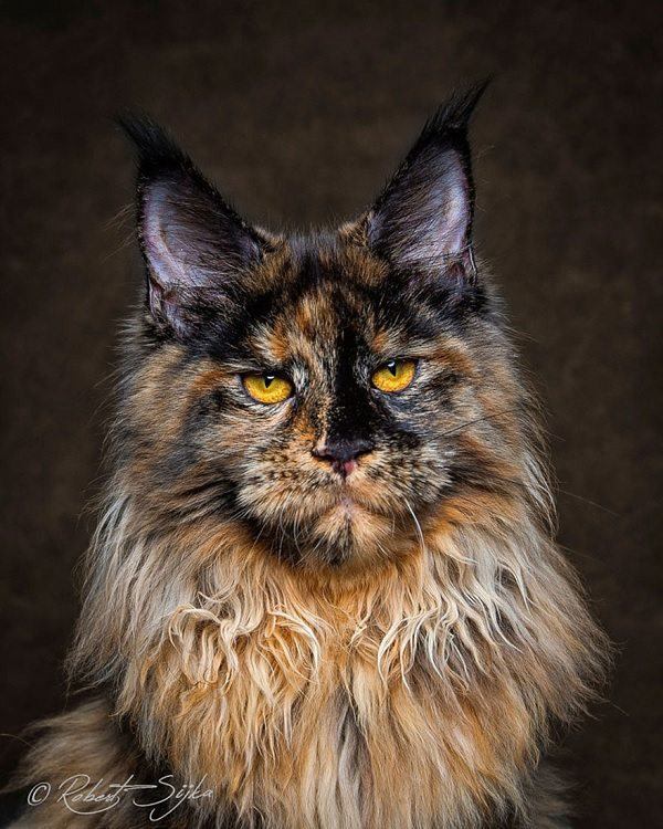 maine-coons-17