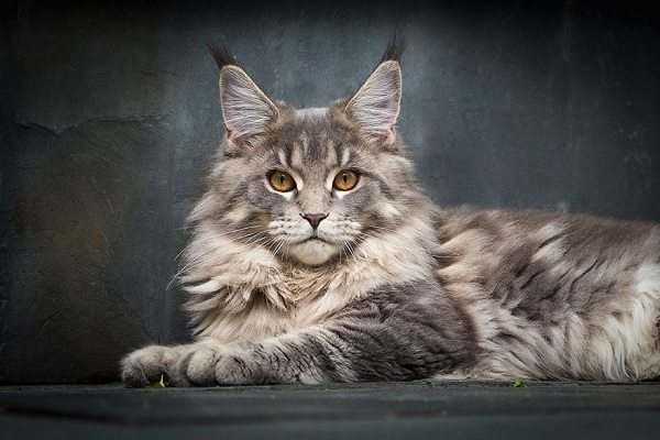 maine-coons-18