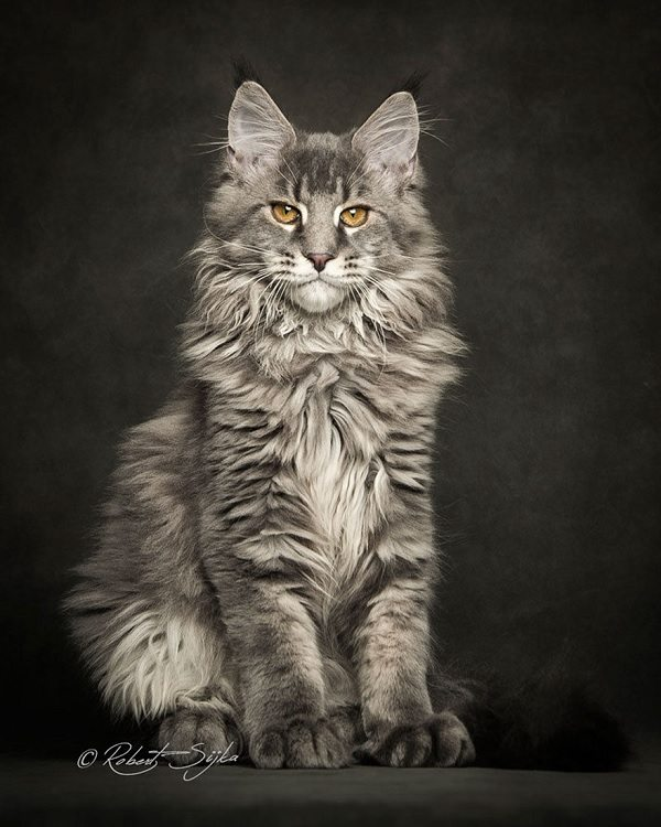 maine-coons-20