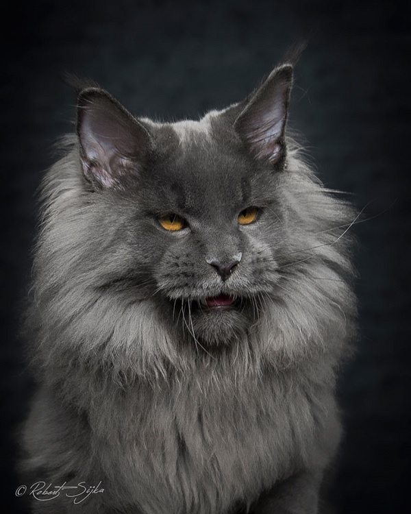 maine-coons-22