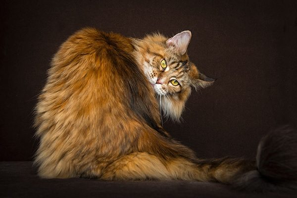 maine-coons-23
