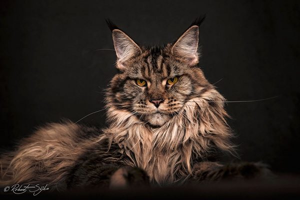 maine-coons-25