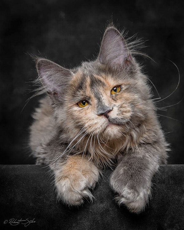 maine-coons-3