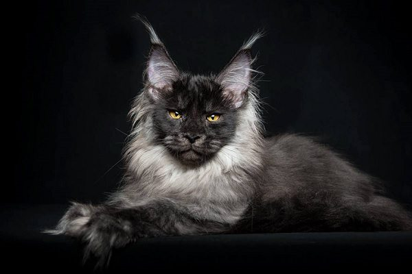 maine-coons-30