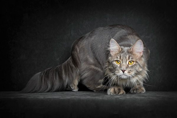 maine-coons-34