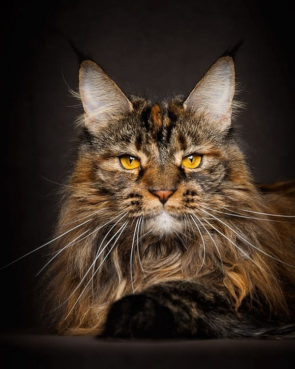 maine-coons-35