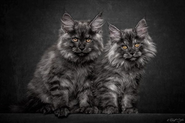 maine-coons-38