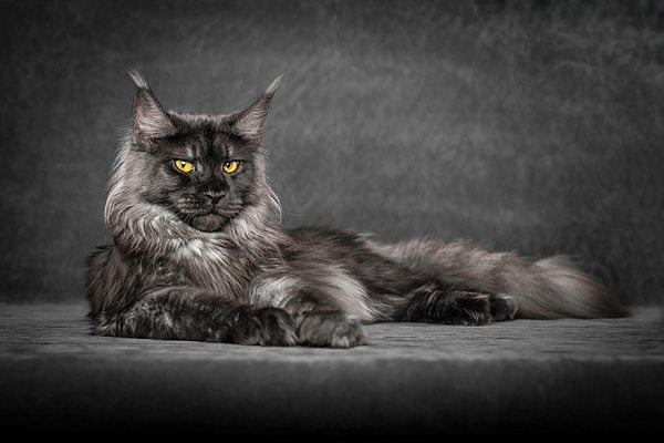 maine-coons-39