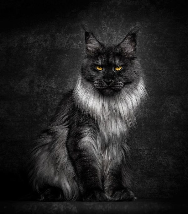 maine-coons-4