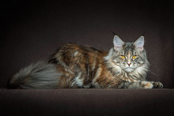 maine-coons-48