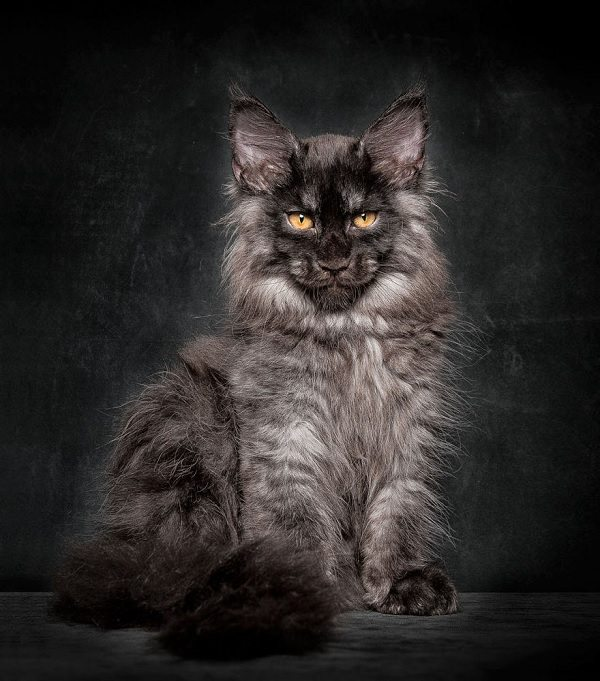 maine-coons-49