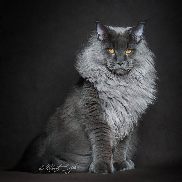 maine-coons-5