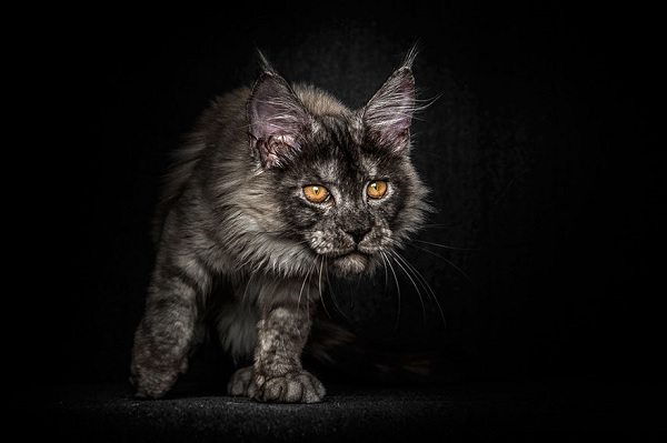 maine-coons-51