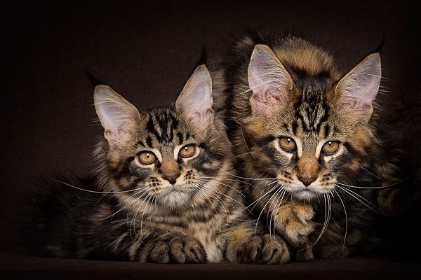 maine-coons-52