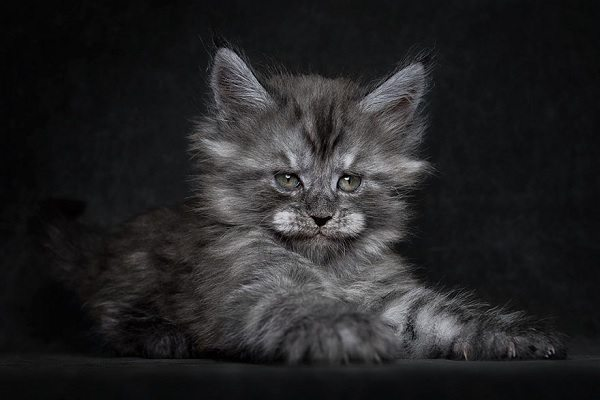 maine-coons-53