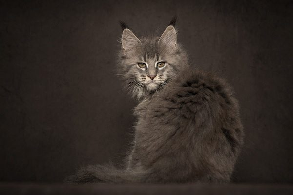 maine-coons-59