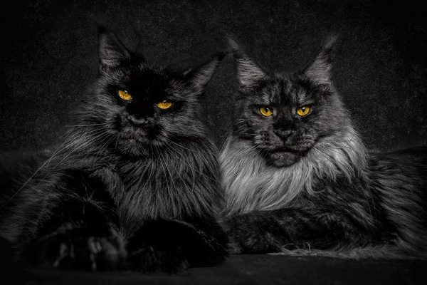maine-coons-6