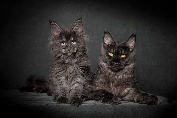 maine-coons-60
