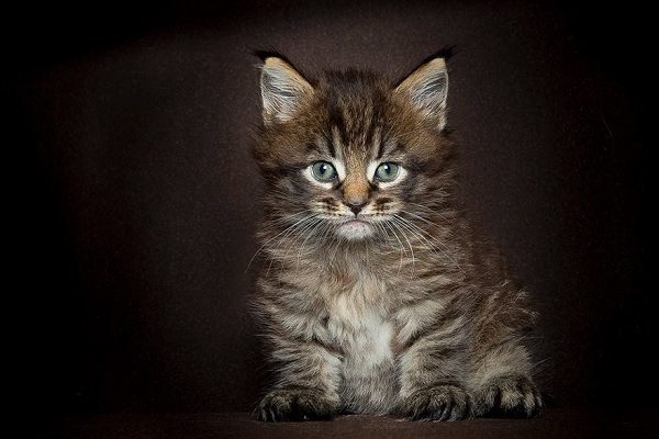 maine-coons-62