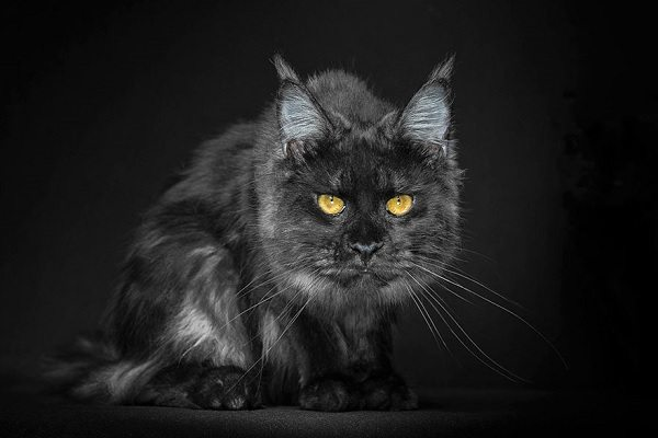 maine-coons-63