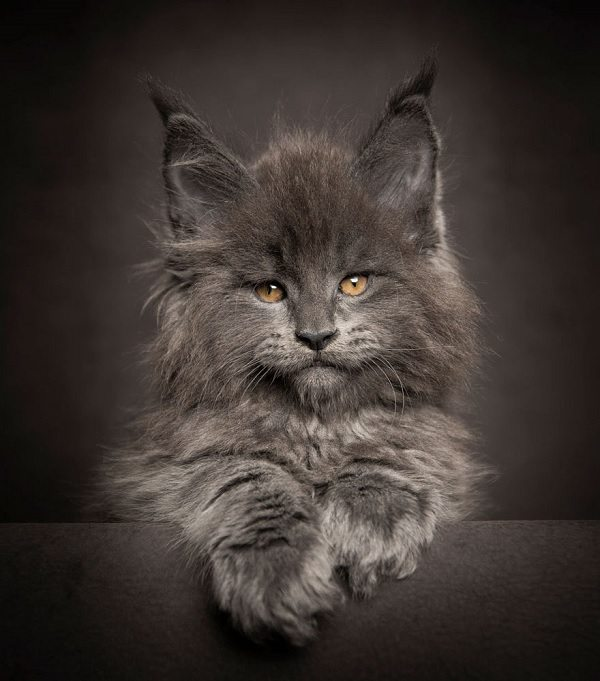 maine-coons-7