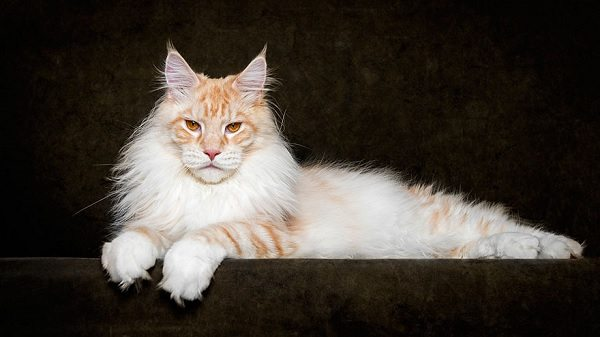 maine-coons-8
