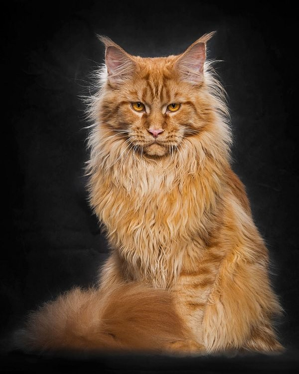 maine-coons-9